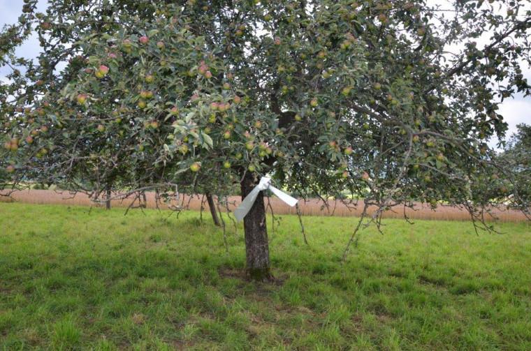 Obstbaum mit Markierungsband