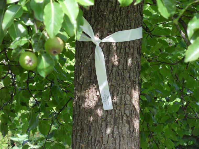 Bild Baum mit weißem Band das signalisiert: Ernten erlaubt